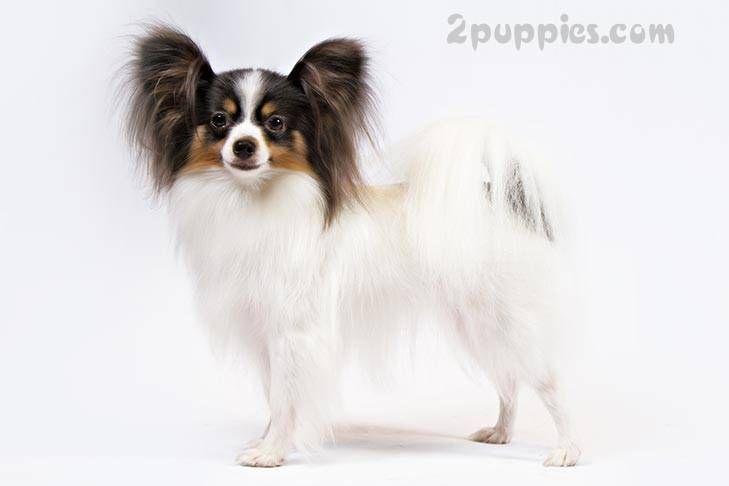 8 Letter Dog Breeds | # Dog Behavior & Facts | Dog breeds, Akc dog