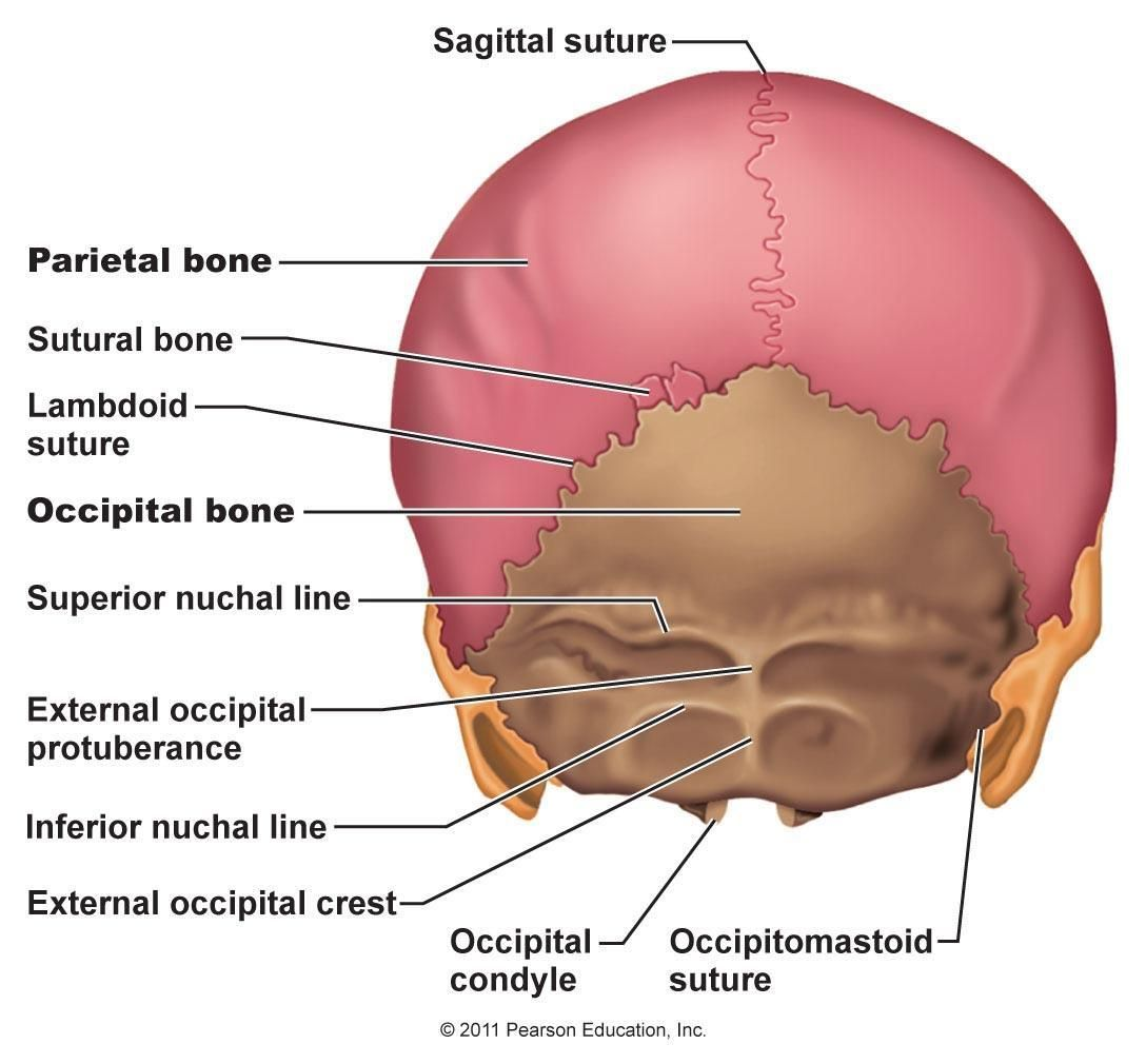 sagittal suture anatomy - HD 1088×1010