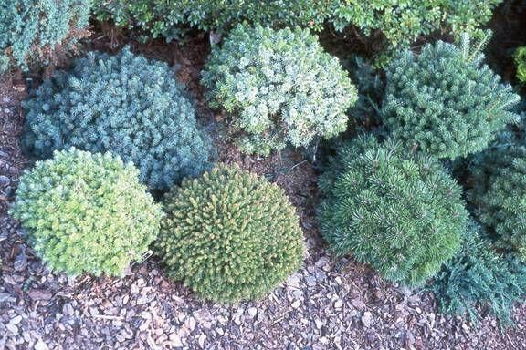 Miniature Conifers Left To Right Rear Picea Glauca Echiniformis