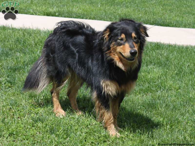 english shepherd puppies | English Shepherd Puppies For ...