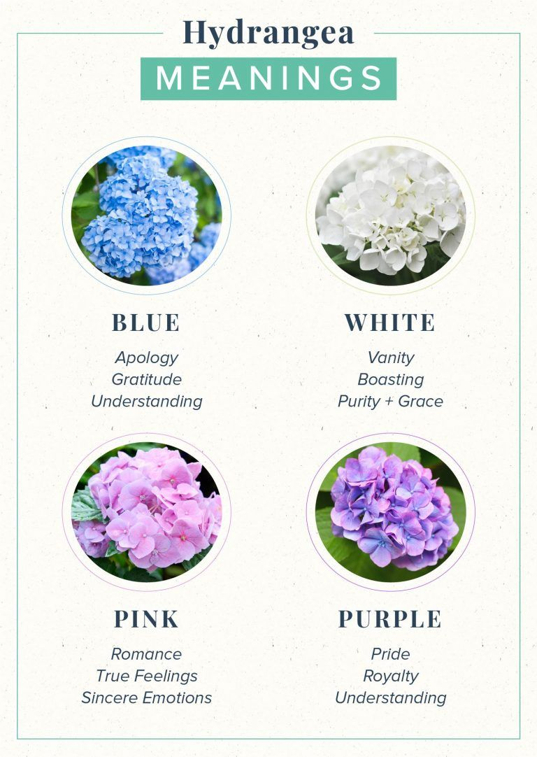Hydrangea Meaning Symbolism + History ProFlowers in