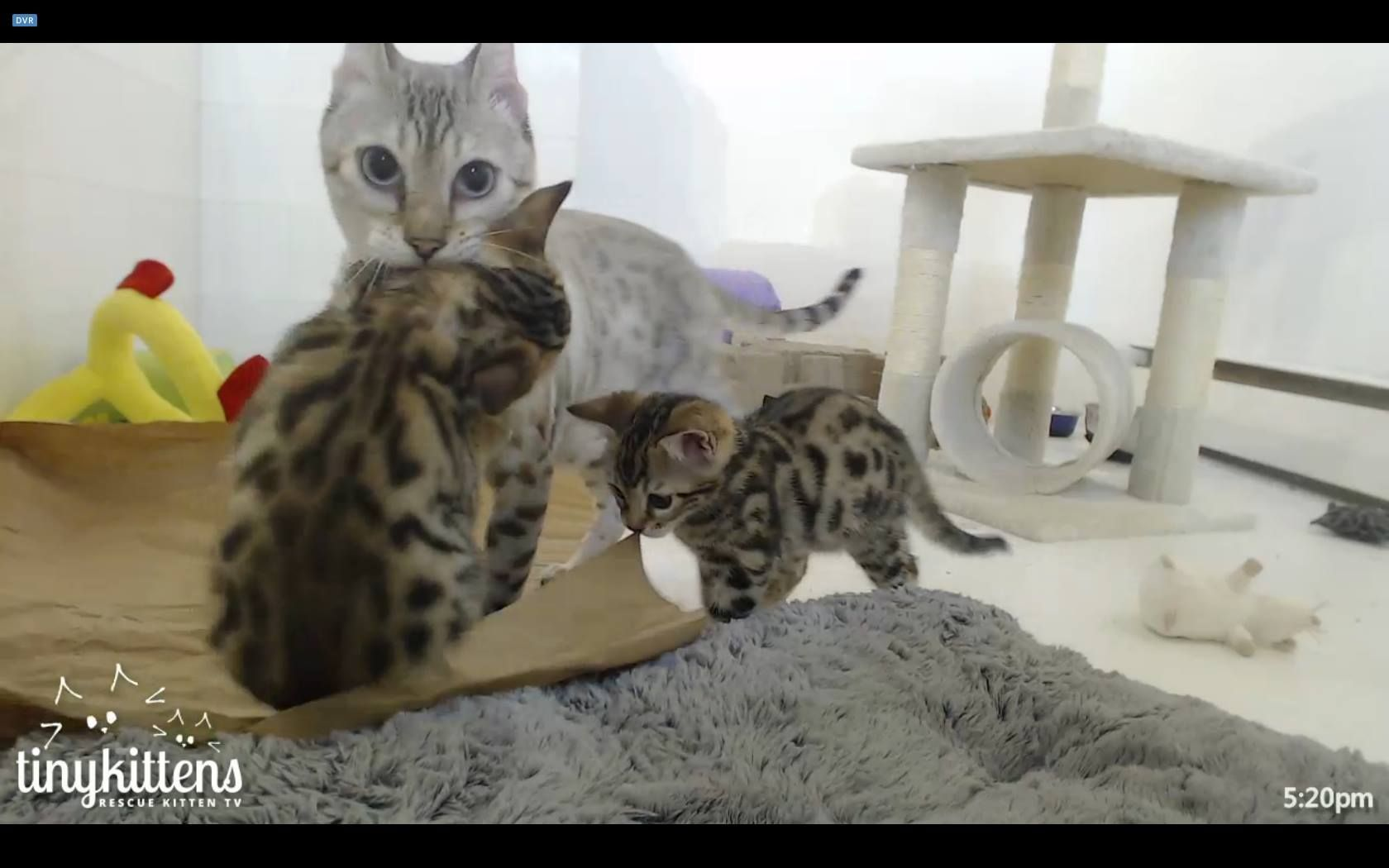 Good Grief Felicity He S Around 2 Lbs Felicity Bringing Felix Back From Stage Left Aka Our Right Bengal Cat Mama Cat Cats