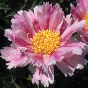 Herbaceous Peony - Pink Firefly