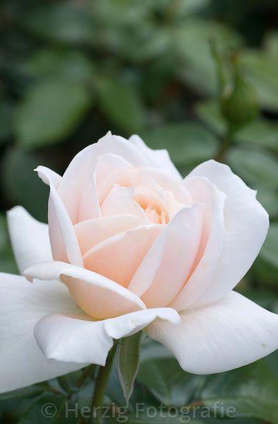 """Rosa """"Lion´s Rose"""" - Rose"""