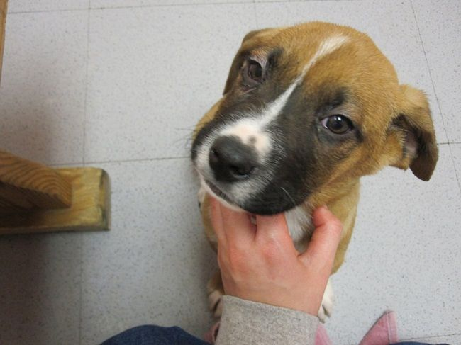 boxer lab mix puppies for sale Cute Puppies Boxer lab
