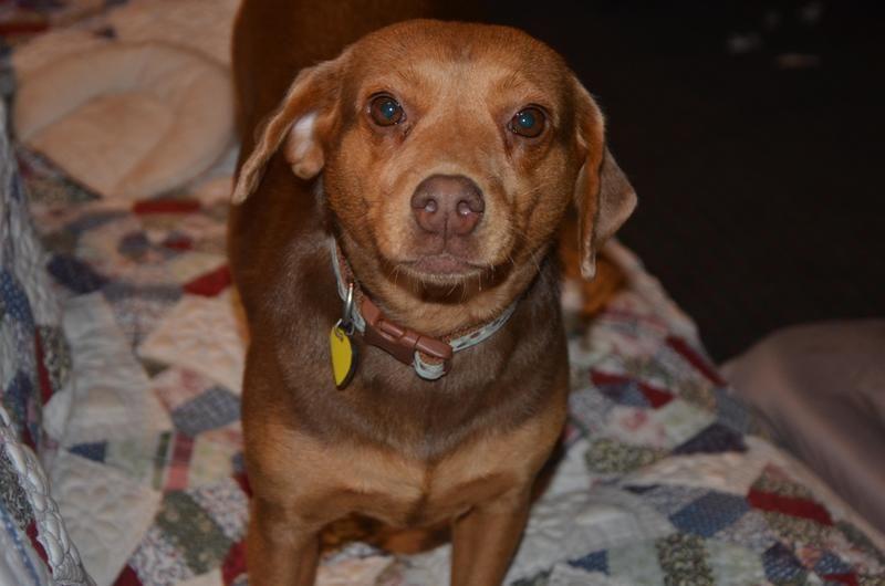 Adopt Rita on Petfinder Hound breeds, Dachshund mix