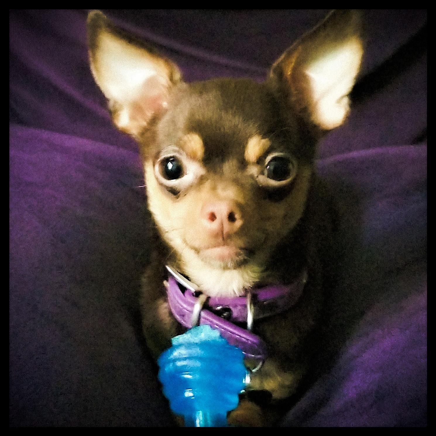 How Can You Say No To That Face This Is My Teacup Chihuahua