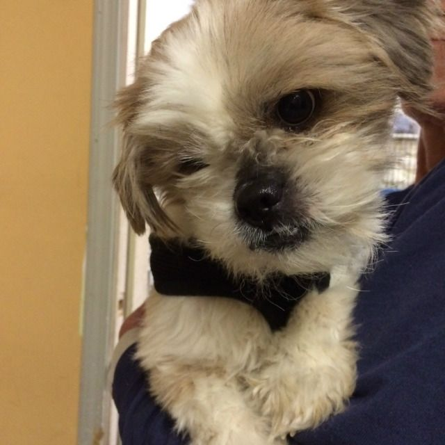 Shih Tzu Dog For Adoption In Asheville Nc Adn 550395 On