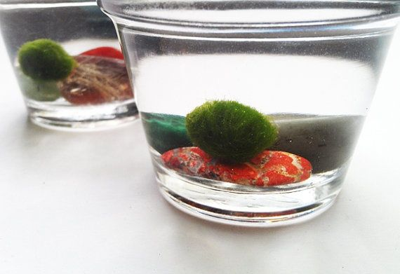 Marimo Moss Ball Desk Pet Marimo Moss Ball Marimo Moss Marimo