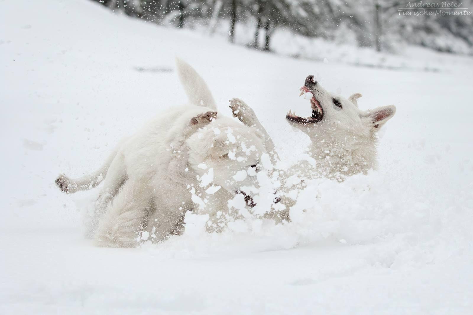 Snow Fun For The Swissies White German Shepherd Dog Swiss Shepherd