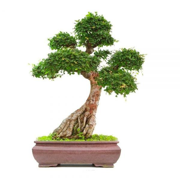 vente de bonsai orme de chine 30 35 ans 75 cm specimen 130901 acheter en ligne sankaly bonsa. Black Bedroom Furniture Sets. Home Design Ideas