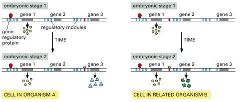 Figure 21 4 How Regulatory Dna Defines The Succession Of Gene