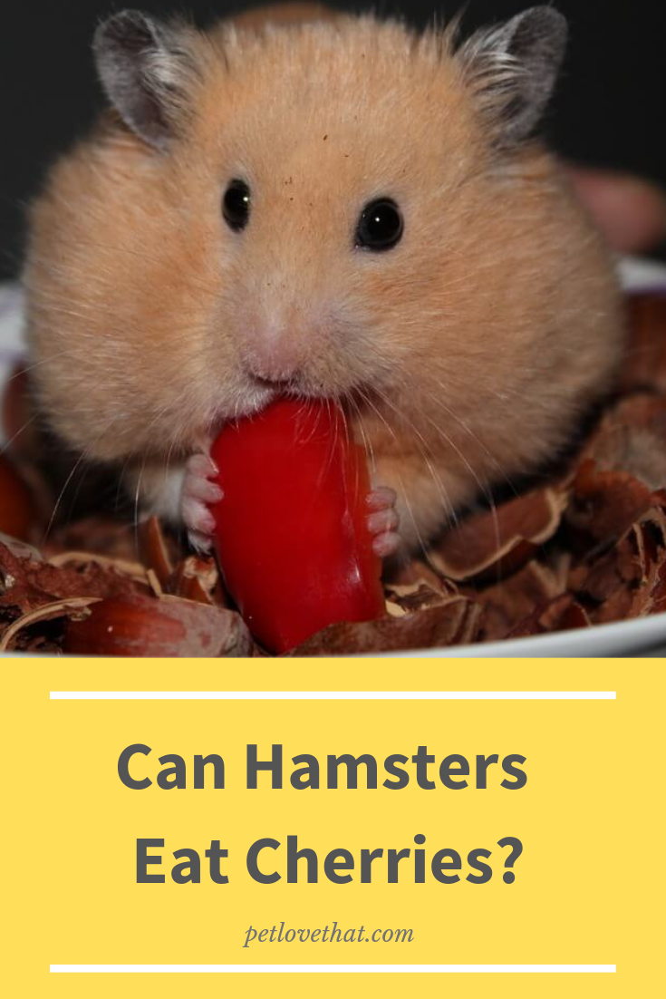 Can Hamsters Eat Cherries Hamster food, Hamster, Hamster