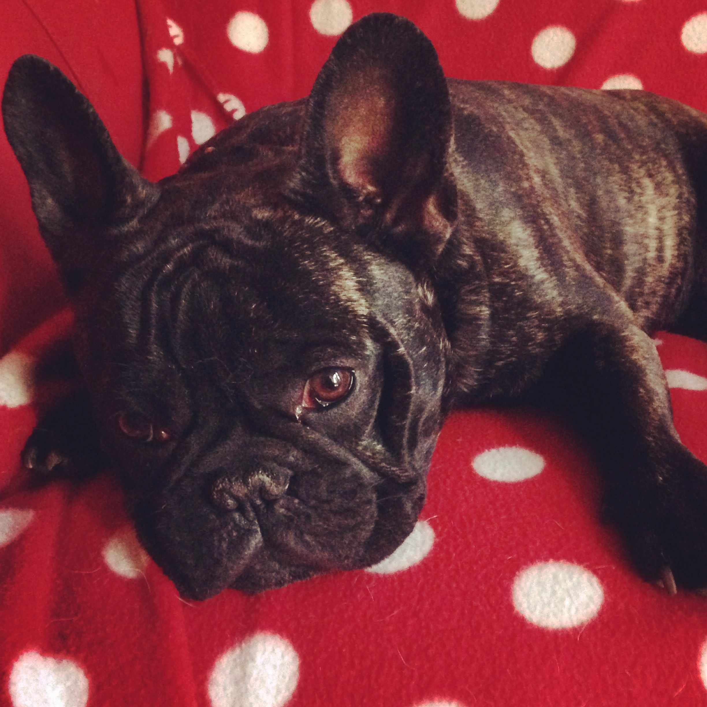 Pin by Chandra Knoke on Frenchies & Co. French bulldog