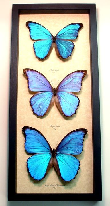 morpho collection real butterfly gifts framed butterflies and insect displays