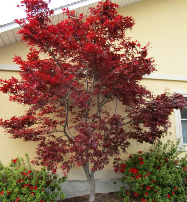 Types Of Japanese Maples The Home Depot Community Red Maple