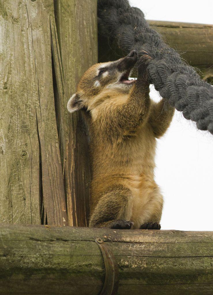 Coati Baby animals, Mammals, Animals