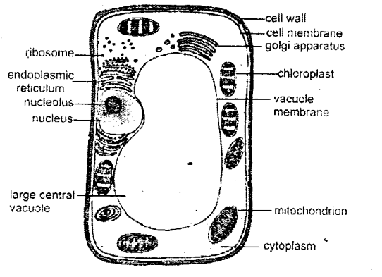 for Class 8 Science Chapter 5 Study of Cells in 2020 (With