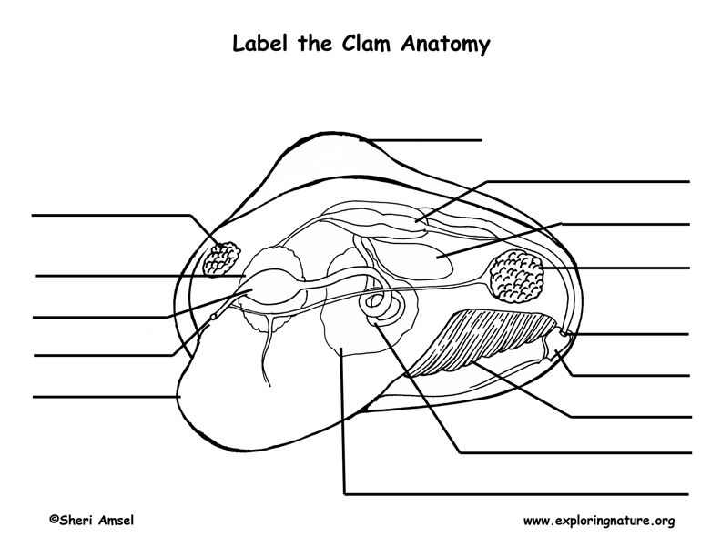 Label the Parts of the Clam | Science Activities | Pinterest | Clams ...