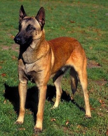 Herding Dog Breeds Martha Stewart Malinois Dog Herding Dogs