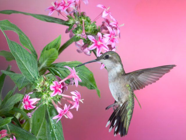 Download Free Hummingbird Wallpapers: Many Of These Images Are Part Of Our Free Wallpaper And