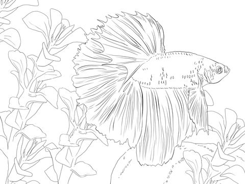 Betta Fish Coloring Page From Betta Fish Category Select From