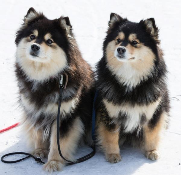 Dagolas Ystava And Mother Finnish Lapphunds Puppies Dog