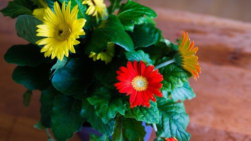 How To Care For Gerbera Daisies Inside Plants Gerbera Daisy
