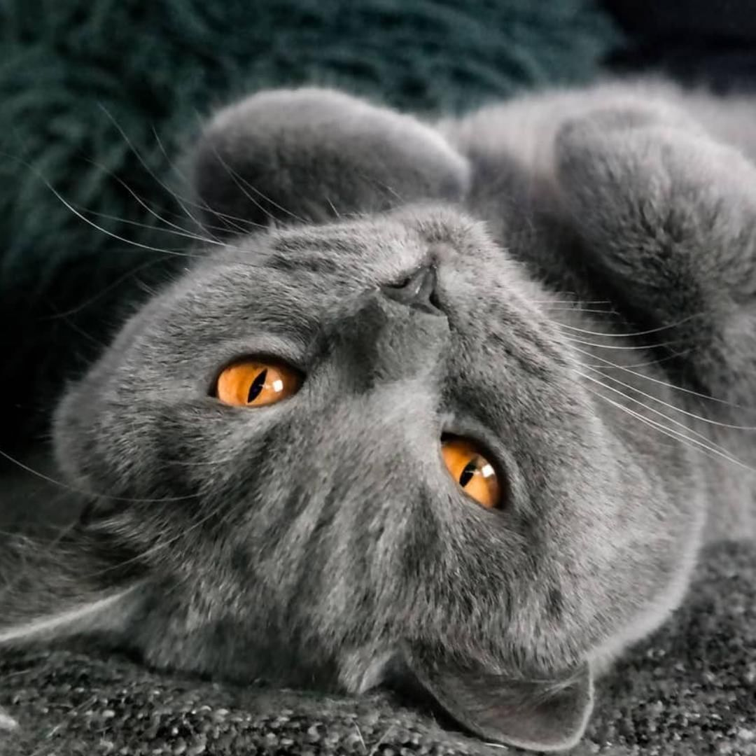 Mr Peanutbutters Catlife Woke Up Like This Mr Peanutbutters Catlife Petmonkey Pet Monkey British Shorthair Cats Most Beautiful Cat Breeds