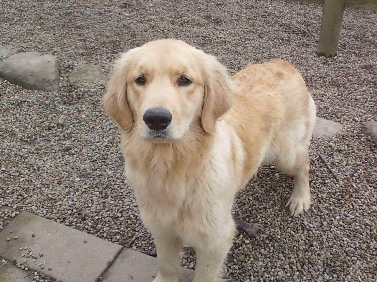 Akc Golden Retriever Puppies For Sale In Ohio Goldenpuppy