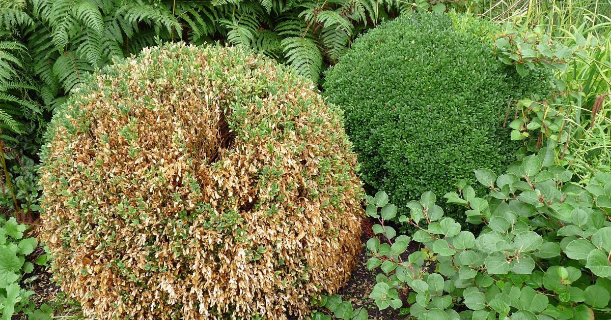 buchsbaum triebsterben vorbeugen pflanzen pflegen pinterest buchsbaum garten und pflanzen. Black Bedroom Furniture Sets. Home Design Ideas