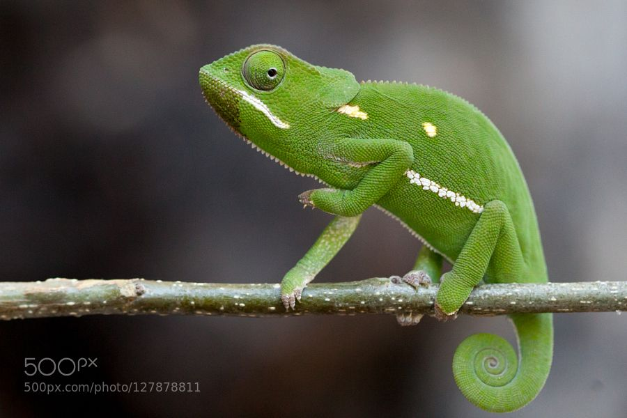 Flap Necked Chameleon by mothergoose7 #animals #pets #fadighanemmd