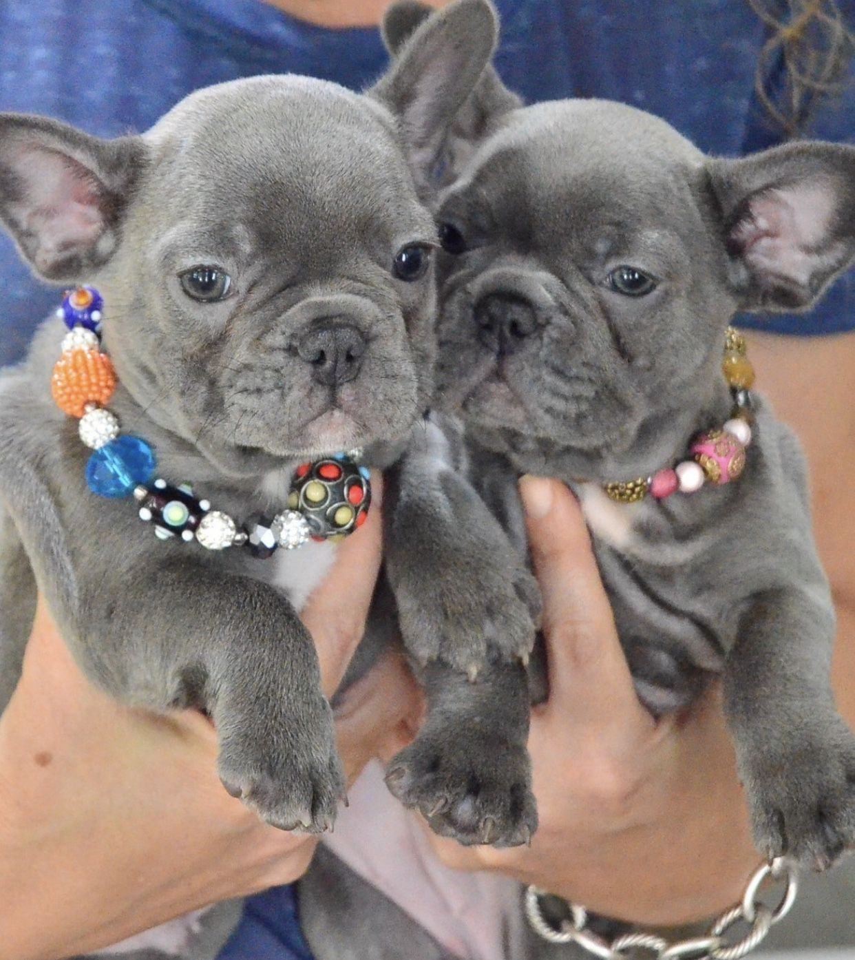 French Bulldog Puppies For Sale In Florida Akc French Bulldogs Fl Poetic French Bulldogs French Bulldog Bulldog Puppies French Bulldog Puppies