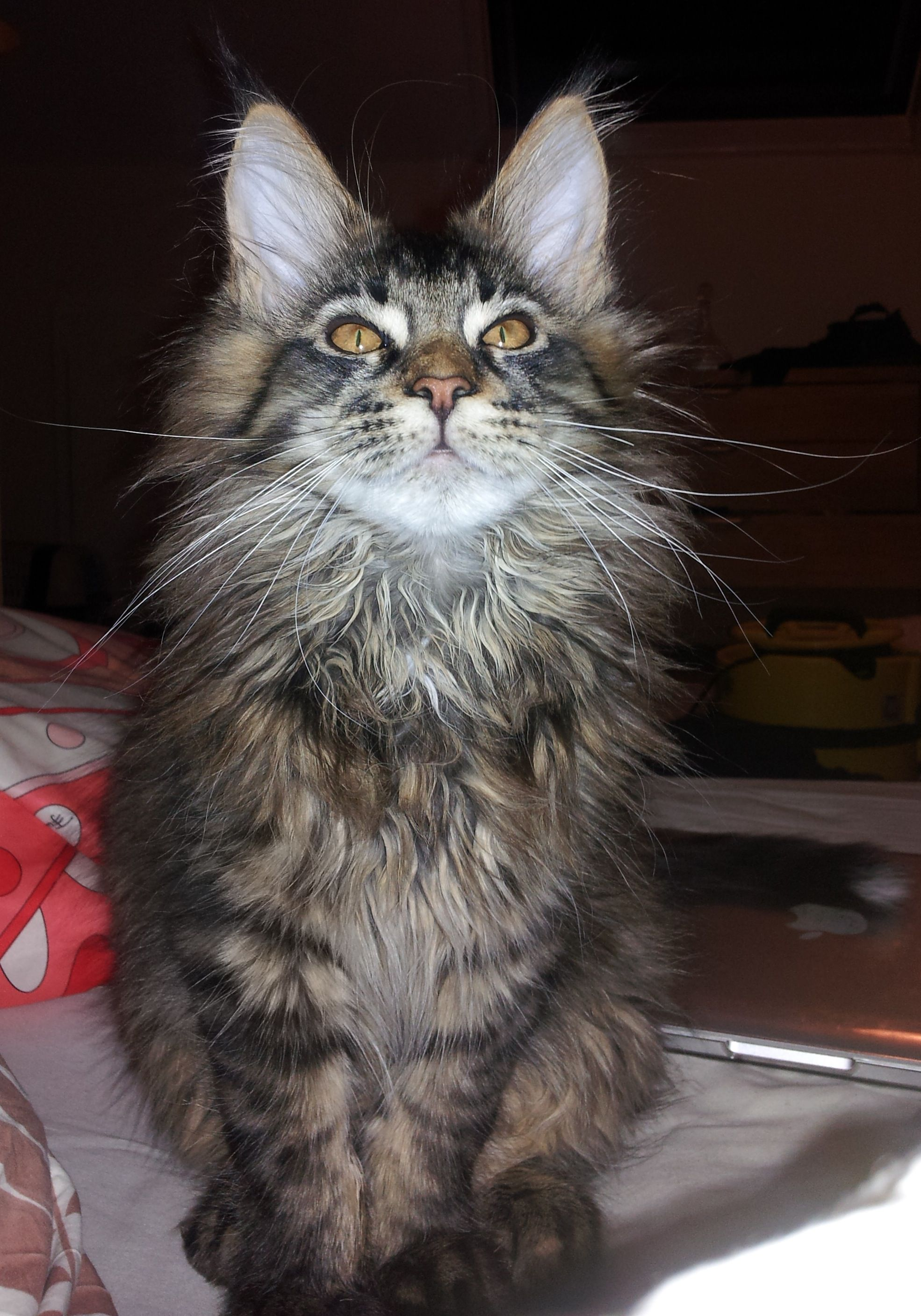 Maus at 13 weeks old brown tabby maine coon Tabby Cat