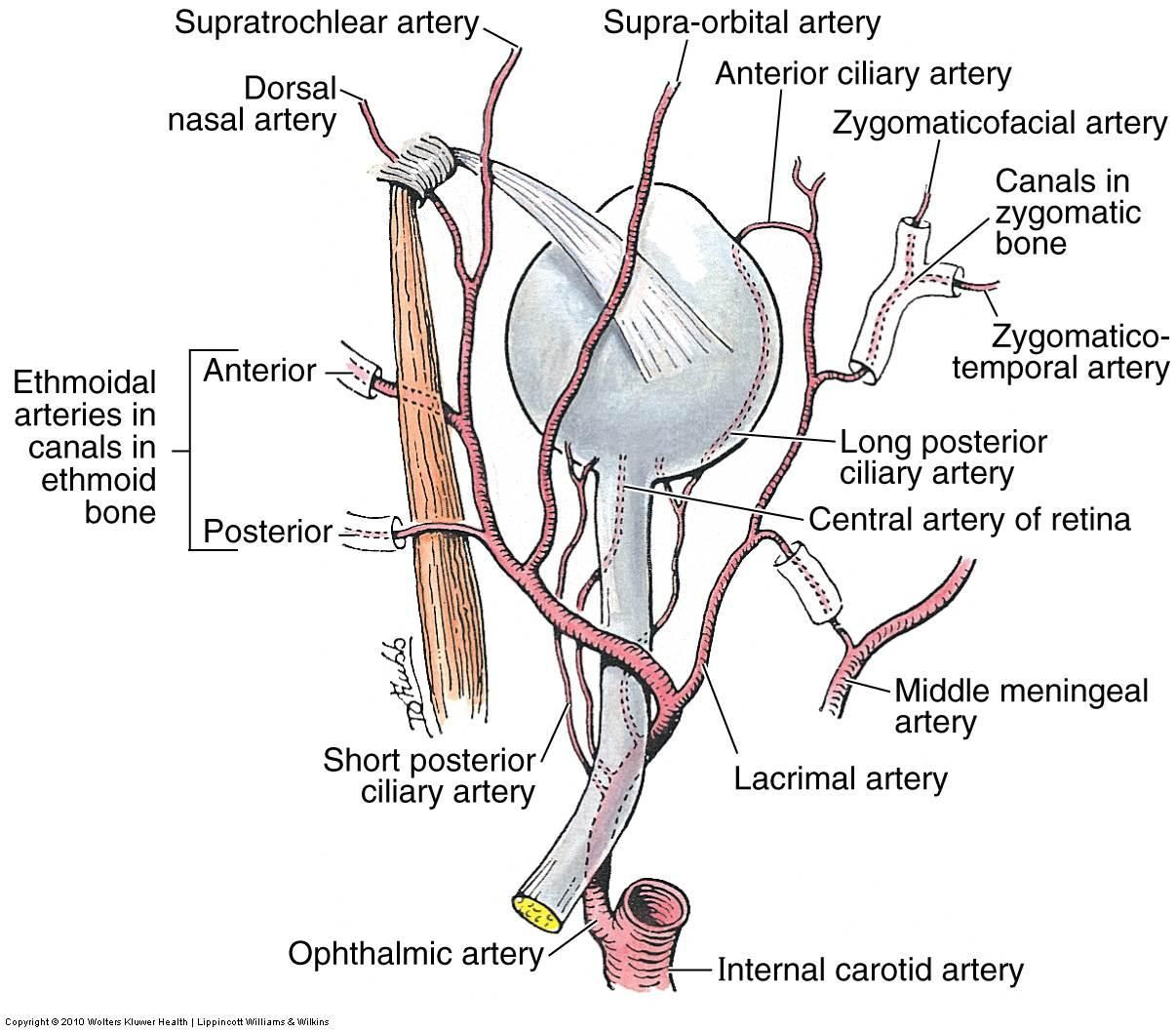 choroid artery central retinal artery - Google Search | Anatomy ...