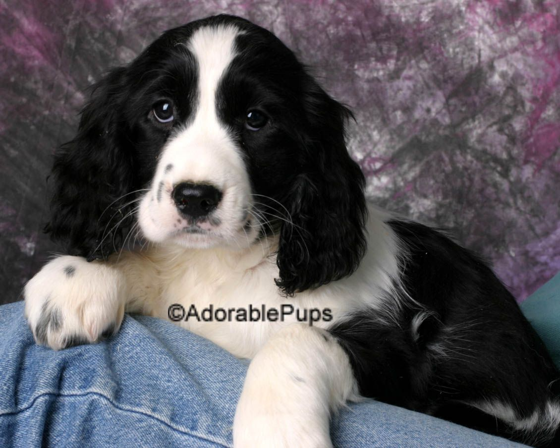 Available Puppies For In Nh