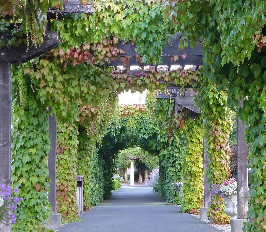 grape vine - Google Search Trees Pinterest Grape vines and Gardens