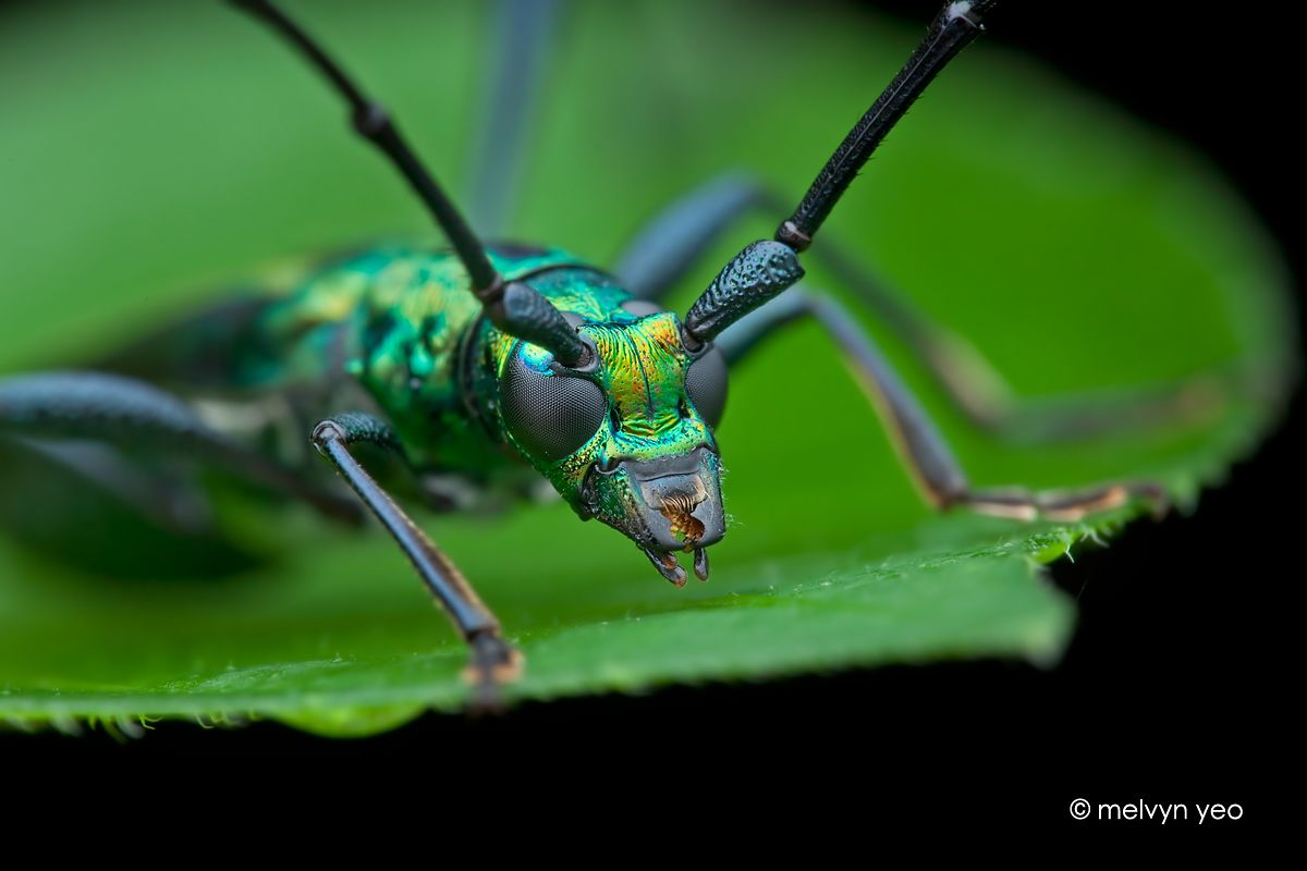 Longhorn beetle (Chloridolum sp.?) by melvynyeo on DeviantArt
