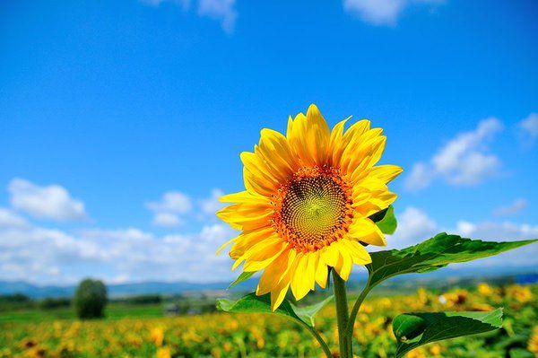 永遠に続くような黄色い絨毯が綺麗すぎる!北海道屈指の絶景『美瑛町のひまわり畑