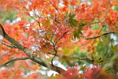 Autumn Fire - Acer tree changing colour in Langley Park, .