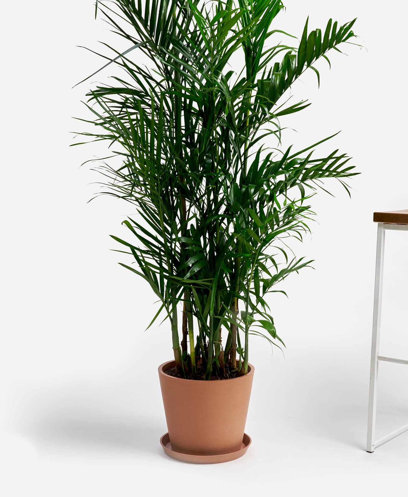 Buy Large, Potted Bamboo Palm Indoor Plant | Bloomscape