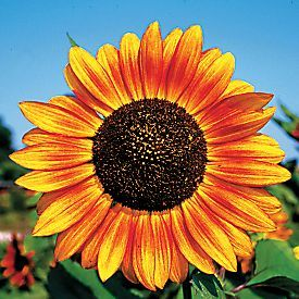 Helianthus Annuus Velvet Queen 4 To 6 Ft Perfect Types Of Sunflowers Growing Sunflowers Sunflower Garden