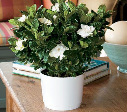 Gardenia In A 6 White Nursery Pot White Flower Farm Bedroom