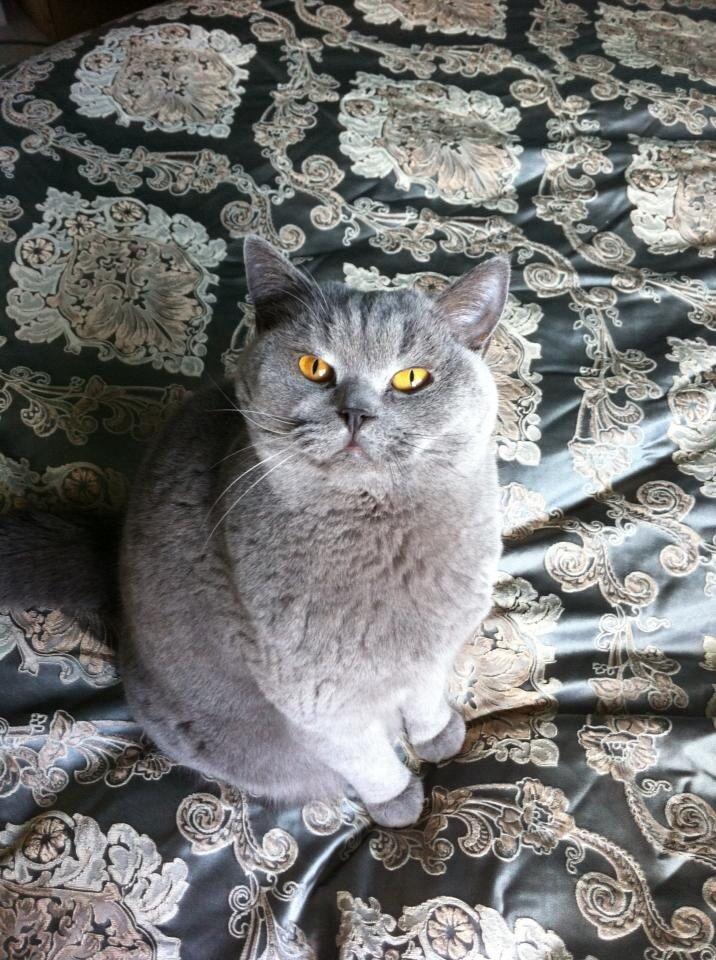 British Shorthair Cat Hayvanlar Kopek Kedi