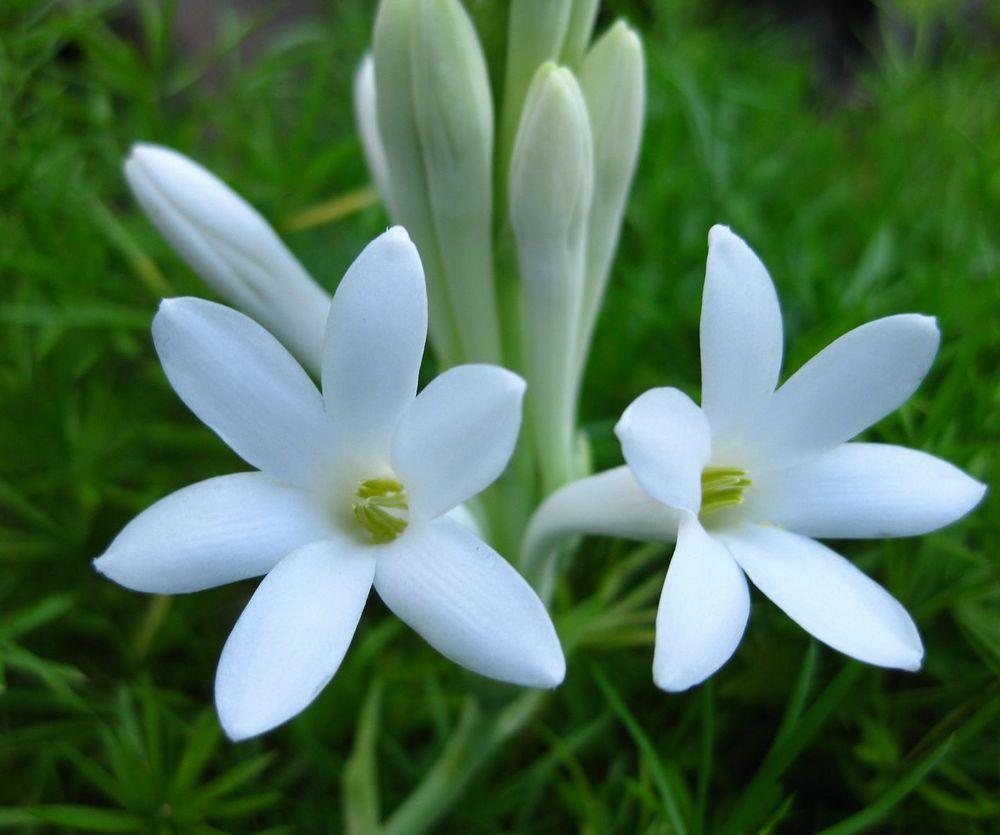 Polianthes Tuberosa Bulbs Single Flowering Tuberose Rajanigandha 5