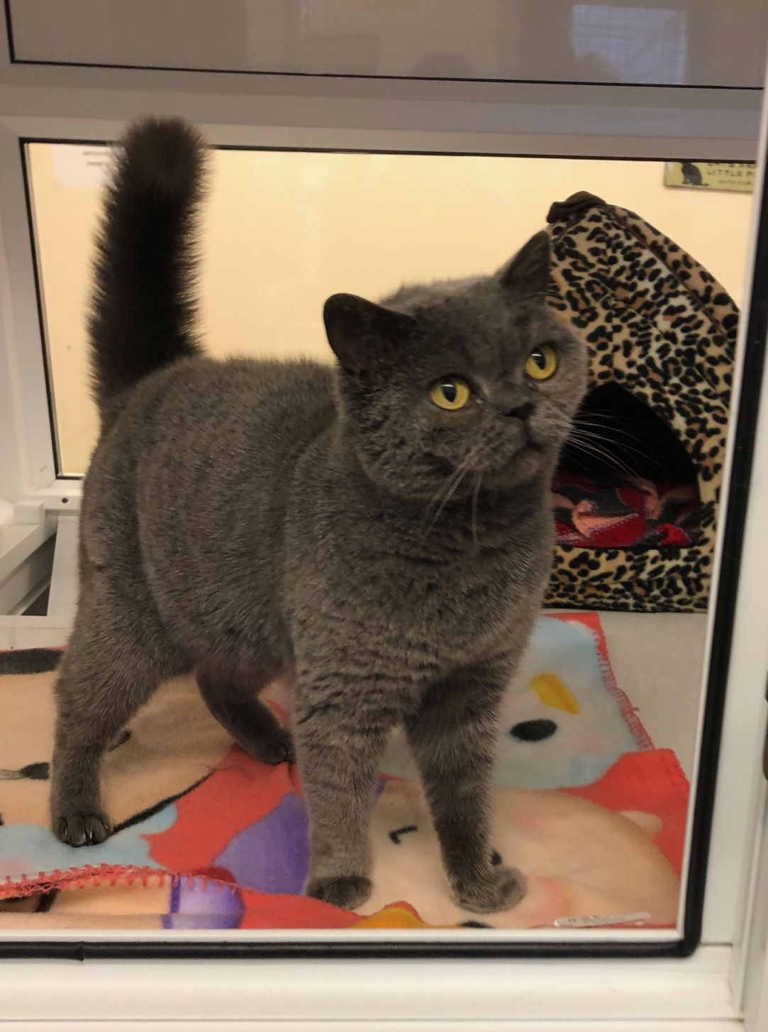 Rehome a cat Jazz Cattery, National animal, Cats
