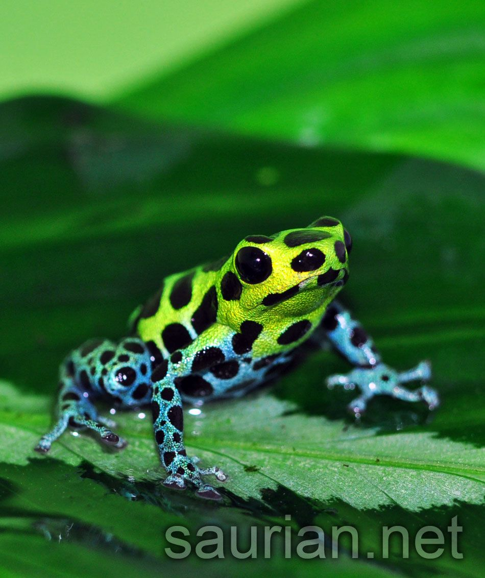Click To See Full Size Ranitomeya Variabilis Variable Dart Frog