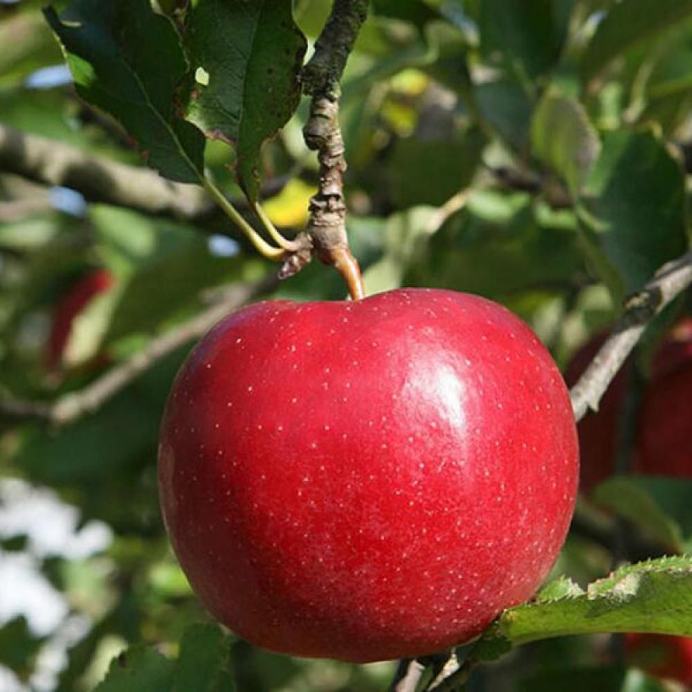 Egrow 50 Pca/Pack Red-Fleshed Apple Seeds Redlove Apple Fruit Tree Seed Garden PlantingDescription :Egrow 50 Pca/Pack Red-Fleshed Apple Seeds Redlove Apple Fruit Tree Seed Garden Planting Specifications :Quantity : 50 pcsGermination time : 15-25 daysFor germination temperature : 18-25 Celsius.Package : 1 OPP Simple PackagingApplications : Balcony, garden, living room, study, windows, office, etc.How To Grow The Seeds? Firstly, loose the soil and then put your seeds in the soil in 0.3-0.5cm of ..