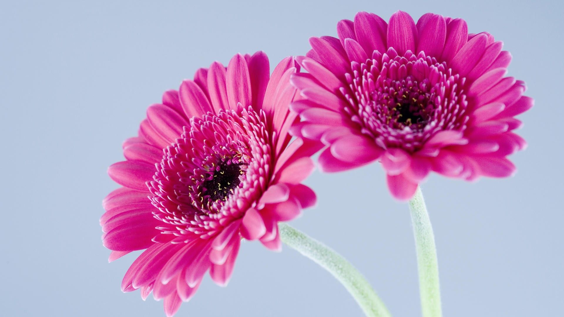 Pin by art lavaux on pink pinterest explore gerbera flower pink gerbera and more mightylinksfo Images