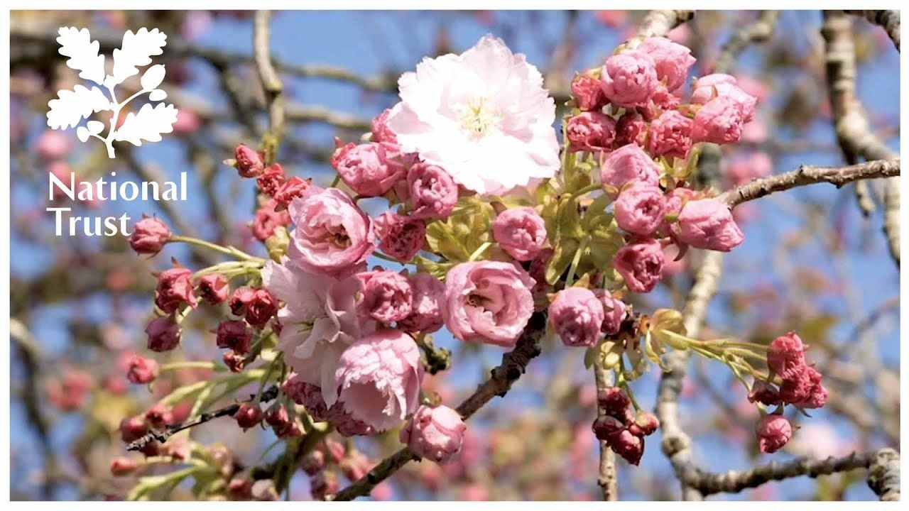 Cherry blossom slow TV from the National Trust in 2020